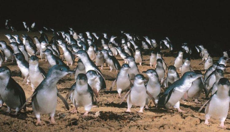 ペンギンパレード(フィリップ島)