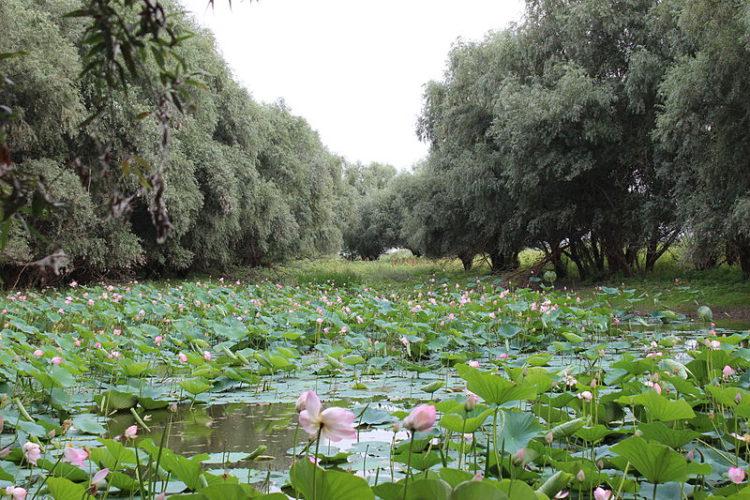 Лотосовое поле, Белый ильмень, город Астрахань, Россия
