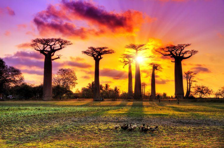 Проспект Баобабов - Что посмотреть на Мадагаскаре