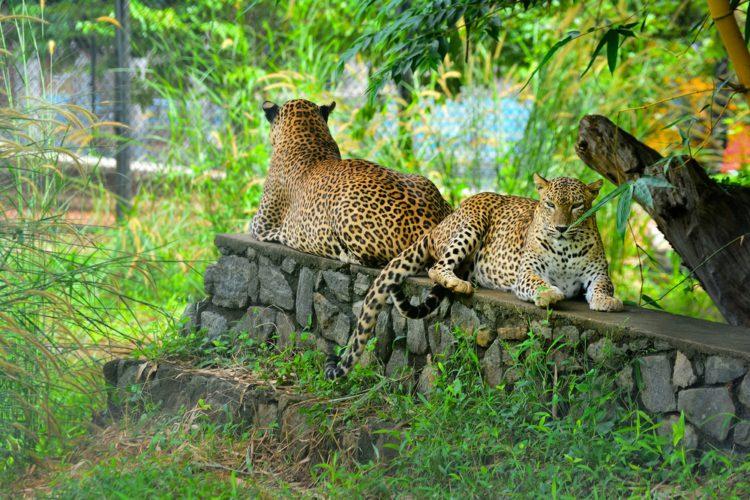 Зоопарк Пиннавела - достопримечательности Шри-Ланки