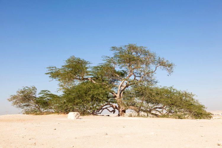 Дерево Жизни в Бахрейне - достопримечательности Бахрейна