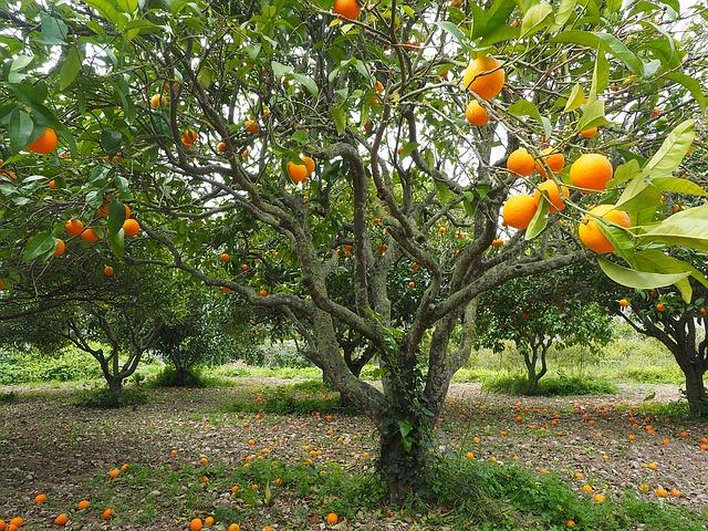 Апельсиновая роща - достопримечательности Кемера