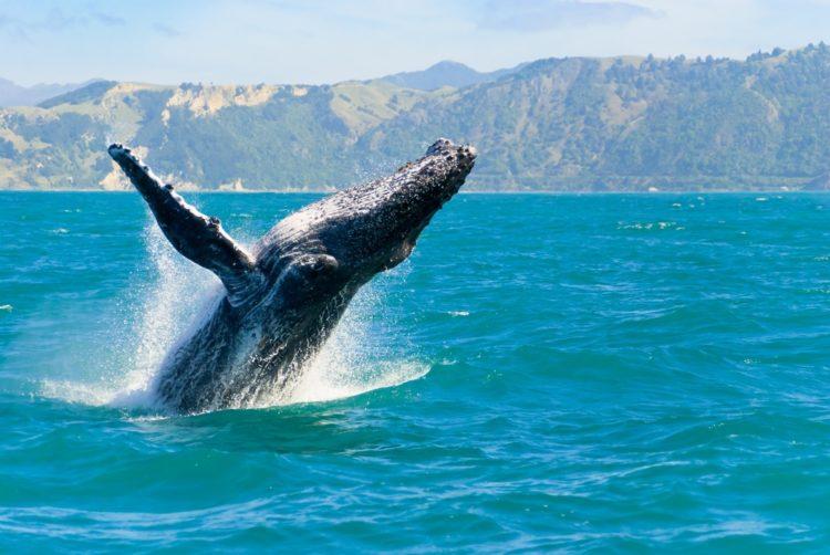Киты и дельфины в Кайкоура в Новой Зеландии