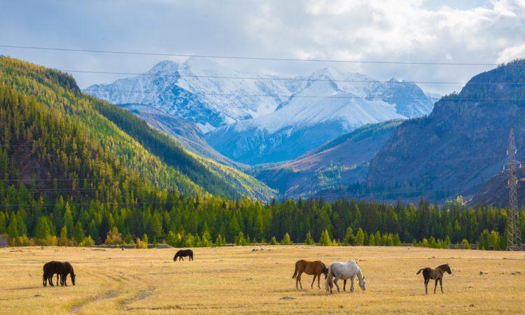 Золотые горы Алтая в России